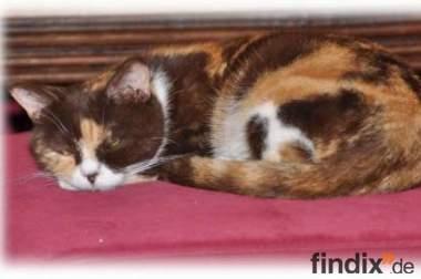 3 süße BKH Katzen (1-2 Jahre) suchen schönes Heim