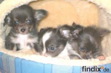 *** Selten ** blaue Chihuahua Welpen *** Selten ******