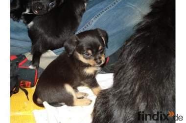 '»-(¯`v´¯)-ChIhUaHuA Yorkshire Terrier MiX »-(¯`v´¯)-»