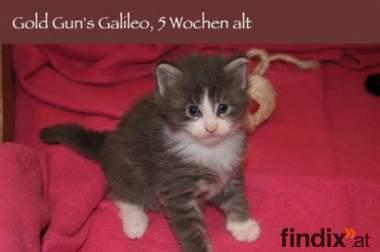 __ zuckersüsse MAINE COON Kitten __