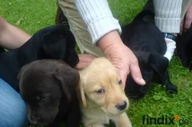 10 hübsche Labrador-Welpen zu verkaufen