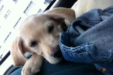 13 Wochen jung, Labrador Welpe