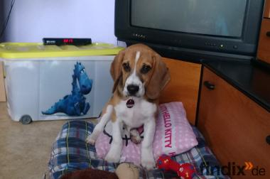 15 Wochen alter Beagle zu Vk