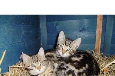2 bengalisch marmorierte Katzen suchen Gartenplatz