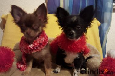 2 Chihuahua Welpen in Langhaar
