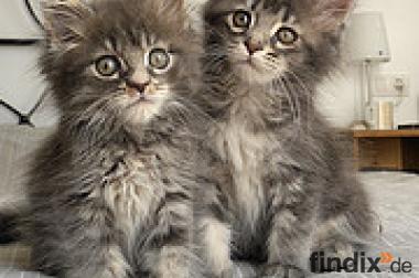 2 mooie vrouwelijke maine coon kittens