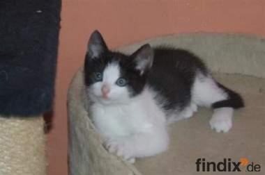2 verschmuste schwarz-weiße Katzenbabys suchen Familienanschluss