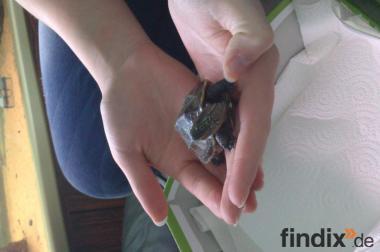 2 Wasserschildkröten suchen neues Zuhause