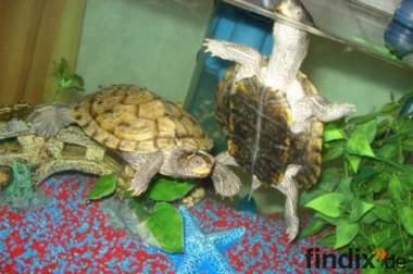 2 Wasserschildkröten zu verkaufen