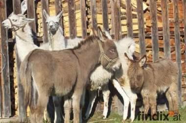 2 weiße lamas, 1 eselstute
