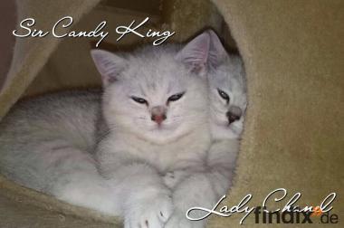 2 wunderschöne BKH Kitten mit Stammbaum