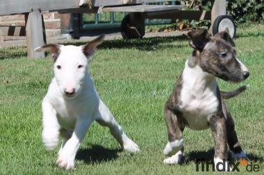 2  Zuckersüß Mini Bull terrier abzugeben