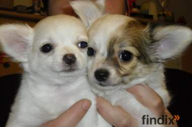2süsse Chihuahuababys 9 Wochen