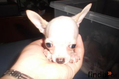 Süß Chihuahua