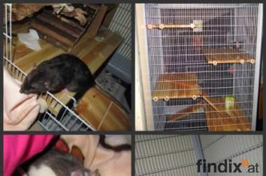 3, männliche Ratten, 5 Monate alt mit Zubehör zu verschenken