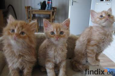 3 Perser/Sibirische Kätzchen zu verkaufen