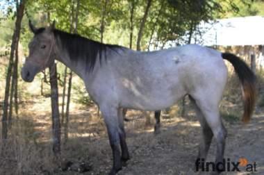 3 Pferde zu verkaufen