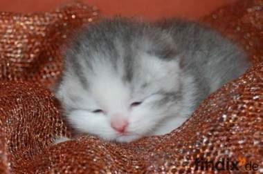 3 süße BKH Kitten abzugeben
