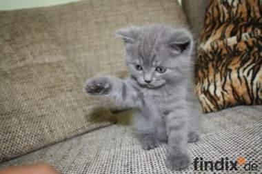 3 süße British Kurz Haar Kitten zu vergeben