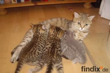 3 Whiskas- Kitten Lilac- und Goldentabby BKH abzugeben