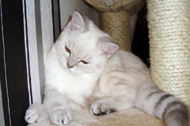 3 wunderschöne BKH Kitten in silver point mit Stammbaum