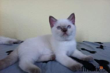 4 wunderschöne blauäugige BKH-Kitten in lilac point