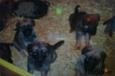 5 Süsse Schäferhunde Welpen