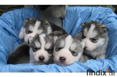 5 süsse Siberian Husky Welpen suchen ab mitte April