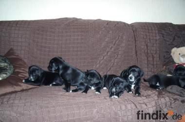 5 Wochen alte Labrador/Dalmatiner Welpen