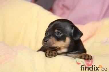 6 Reine Mini Prager Rattler Welpen( ähnlich wie ein Chihuahua )
