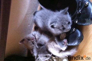 6 tolle BKH Kitten suchen ein Zuhause!!!