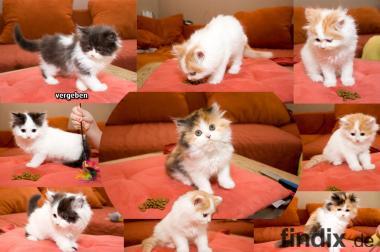 7 süße langhaar Perser Kitten mit Nase