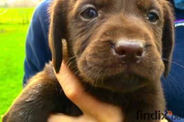 8 braune Labrador-Welpen zu verkaufen