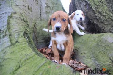 8wochen alt vizsla mischlingshund Welpen