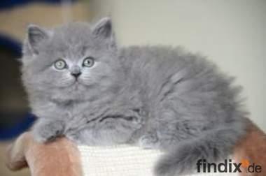 ==== SüZze Highlander Fold Kitten ====