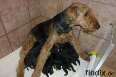 Airedale-Terrier Welpen zu verkaufen