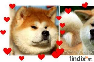 Akita inu - Japanese Akita after imports from Japan