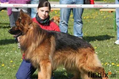 Altdeutsche Schäferhunde Welpen