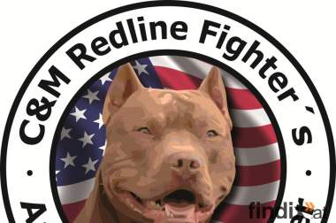 American Pitbull Terrier Red Nose