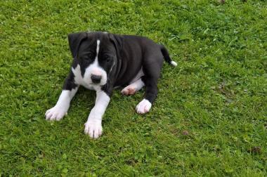 American Pitbull Terrier Welpen