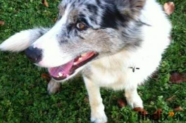american shepherd - border collie mix Hündin sucht neues zuhause