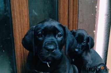 Wunderschöne Doggen welpen
