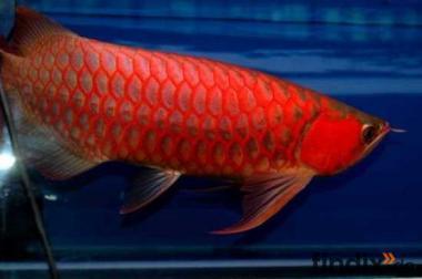 Asian Arowana Fische verfügbar