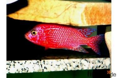 Aulonocara Firefish und andere Malawibuntbarsche !!!