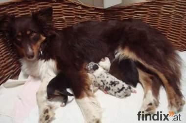 Australian Shepherd Welpen abzugeben