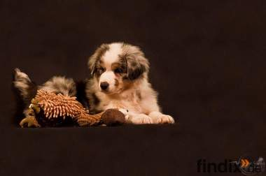 Australian Shepherd Welpen. Aussies for ever
