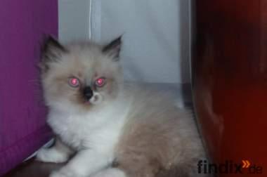 baby katzen zu verkaufen ♥