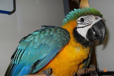 Baby-und Erwachsenen-Ara Papageien zum Verkauf.