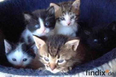 Babykatzen (8 Wochen)