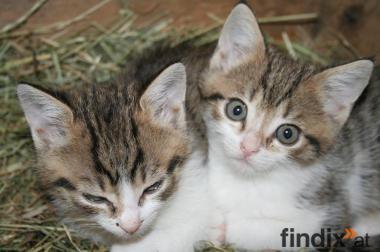 Babykatzen zu verschenken